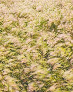foxtail barley at Arbor Lake
