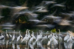 Water remaining from the flood provides plenty of food for the Great Egrets | Danube-Dráva National Park (Hungary)