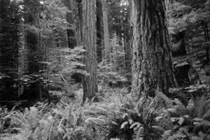 Cathedral Grove, MacMillan Provincial Park, Vancouver Island, Canada, 1994