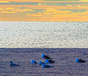 The blue gulls