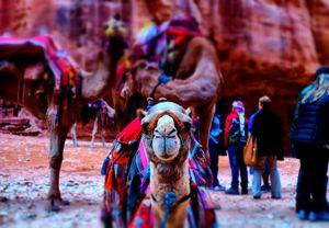 Camel, Petra