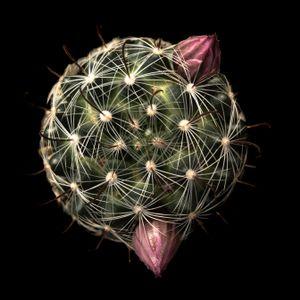Succulent Series #25 - Mammillaria stampferi