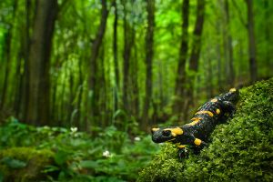Fire Salamander: A protected amphibian species of the cool stream valleys | Duna-Ipoly National Park (Hungary)