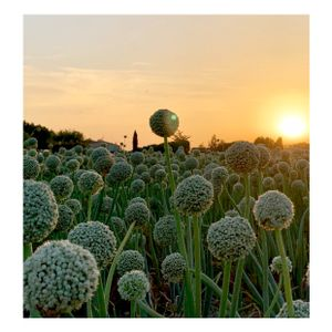 Garlic in the sunset, provence.