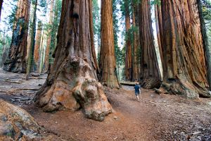 Dwarfed by Giant Sequoias