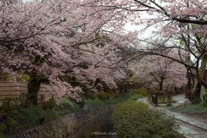 Tetsugaku-no-michi (Philosopher's Walk), Kyoto