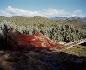 giraffe # II, ladysmith, south africa-from the series 'hunters'-David Chancellor