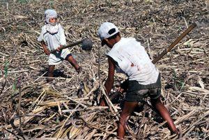 © 2014, Stephen Shames — Philippines. Sugar cane fields.