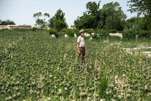 Poppy Harvest, Kandahar