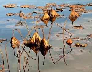 Lotus lake in autumn_1