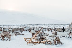 A herd of reindeers