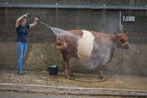 Spray washing the cattle