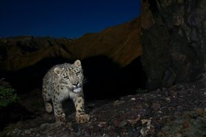 1st prize Nature Stories. © Steve Winter, USA, National Geographic Magazine. Snow Leopards: Out of the Shadows