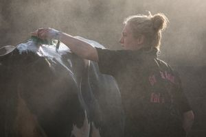 Hand scrubbing the cattle