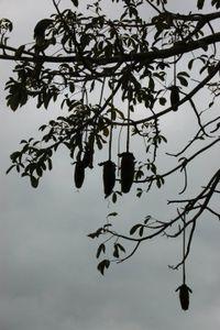 Múcua, Boabá fruit