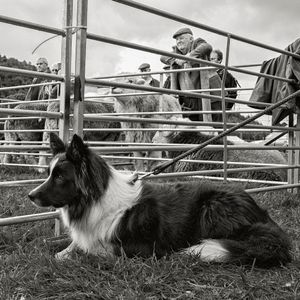 Young Border Collie and Herdwicks, Eskdale, 2017