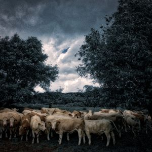 Cattle Storm