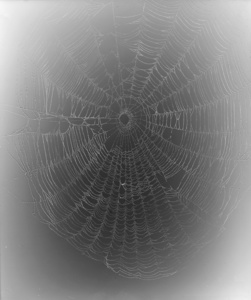 12.Web Study #1. Unique gelatin silver photogram. 24x20 inches, 2013