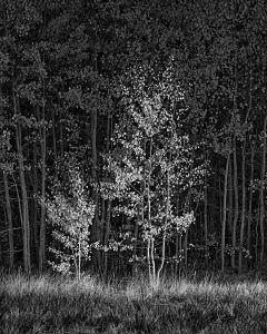Aspens in Light © Tony Hertz, United States