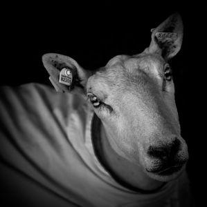 Sheep, Washington County Fair, NY, 2017