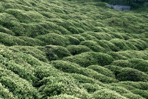 Tea bushes. Tea is the main agricultural production of the Black Sea coast in Turkey. Many Laz villagers replaced during the past decades their traditional maize or bean crops by tea plantations.