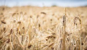 A Grain Field in Siikajoki, Finland