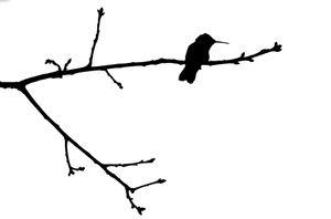 Monochrome Hummingbird