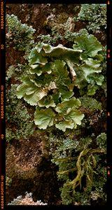 Parmotrema fungus 1