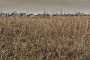 Golden grass 2