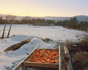 Carrots, Paonia, Colorado, 2015