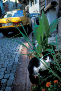 Cat and Taxi in Istanbul
