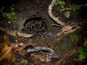 Tarantula, Monteverde Costa Rica