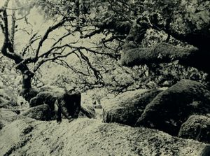 Eastern Gorilla, Wistmans Wood England
