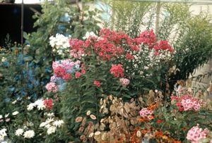 """Bill's Sweet William. From the exhibition """"Landscapes"""" © Tom Wood"""