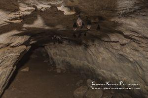 Lesser Horseshoe Bat hibernating in cave