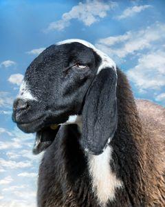 Also black sheeps go to paradise