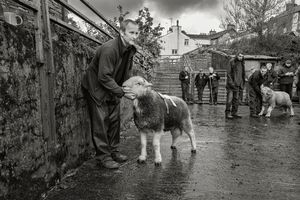 Red Ribbon Shearling Tup, Broughton-in-Furness, 2017