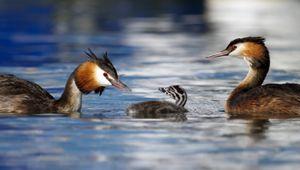 Une famille de canards grèbes huppés sur l'eau