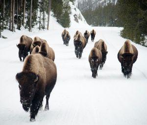 Bison Walk