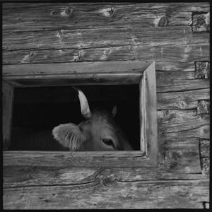 Bull head, Furgglenalp, Appenzell.