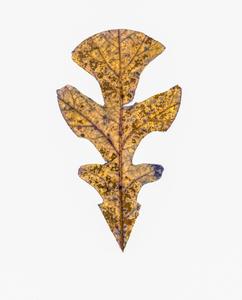 Leaf Cut #56, oak, 2020