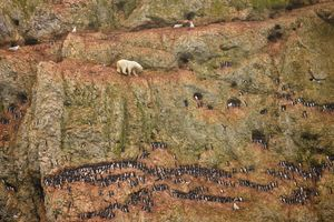 1st prize Nature Singles: © Jenny E. Ross, USA Novaya Zemlya, Russia, 30 June.  A male polar bear climbs precariously on the face of a cliff above the ocean at Ostrova Oranskie in northern Novaya Zemlya, attempting to feed on seabird eggs. This bear was marooned on land and unable to feed on seals—its normal prey—because sea ice had melted throughout the region and receded far to the north.
