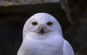 snowy-owl portrait