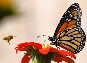 Honey  bee & Monarch butterfly, the classic  pollinators