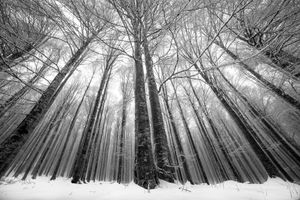 Trees - Cansiglio forest