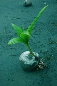 Coconut growth