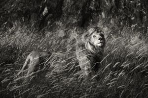 """""""The King of Simba Kopjes."""" An old wounded king is striking his majestic pose. Serengeti, Tanzania."""