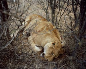 lioness # I, kalahari, south africa-from the series 'hunters'-David Chancellor