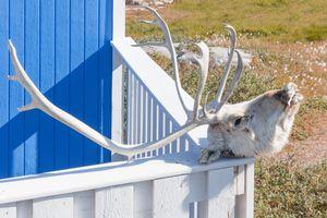 Reindeer's head, Qeqertarsuaq