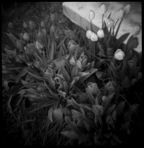 My Mother's Tulips, Madison Mills, VA